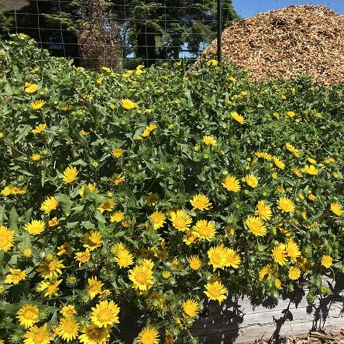Grindelia integrifolia